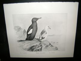 Frohawk 1898 Antique Bird Print. Black Guillemot